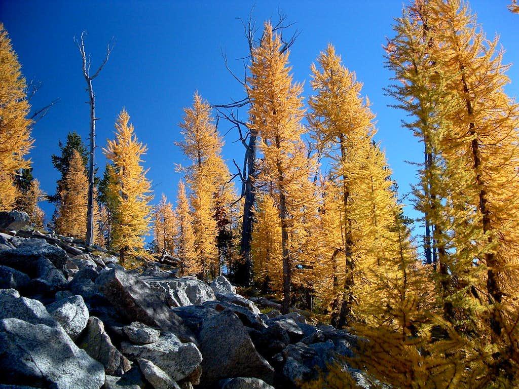 Larch Fall Color
