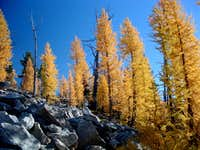 Larch Fall Color