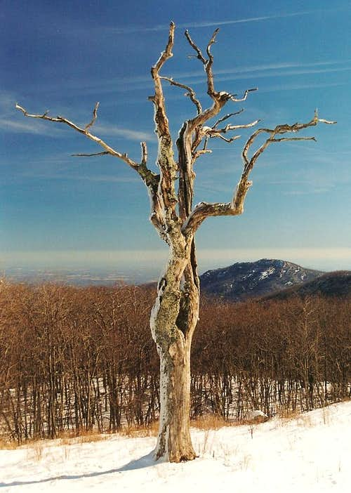 Dead Tree and Old Rag