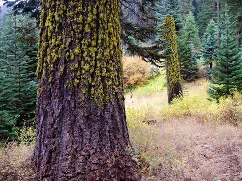 Wolf Lichen on Red Fir Trees