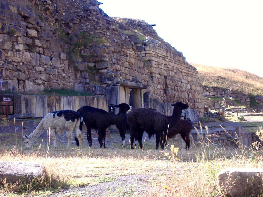 Chavin Ruins, Alpaca