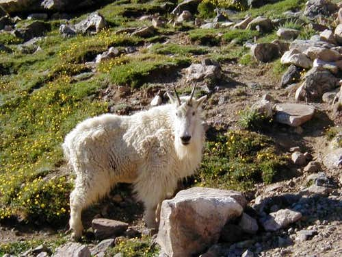 A very tame mountain goat...