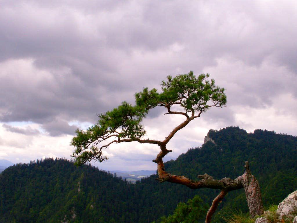 Famous pine...