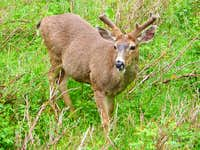 Buck Black-Tailed Deer