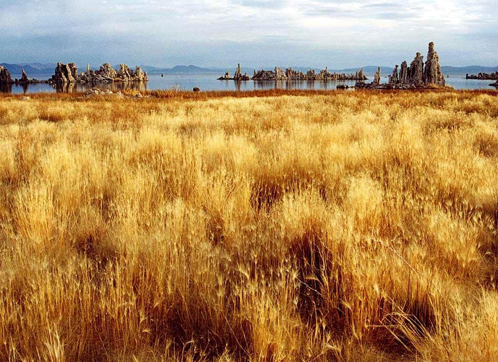 Dry Grasses at Mono Lake