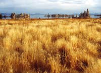 Dry Grasses at Mono Lake