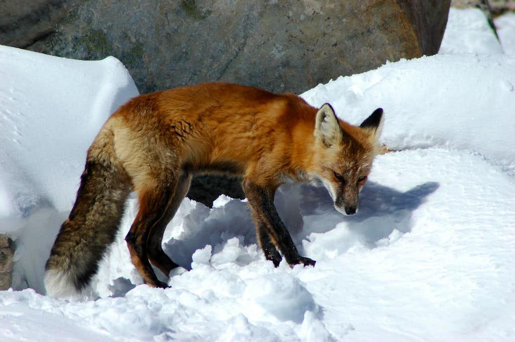 Fox on the summit