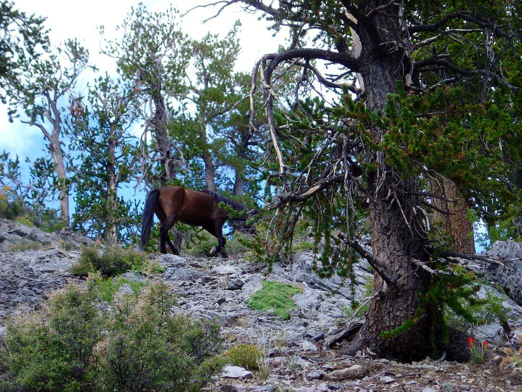 A Wild Mustang