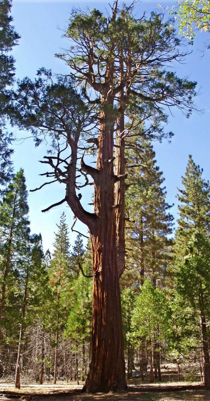 Gnarly old Cedar in Kings Canyon