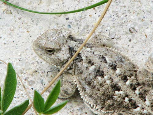Horned Toad, White Butte, North Dakota