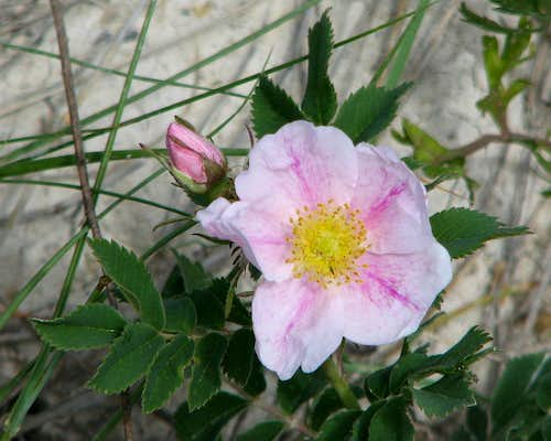 Rose - White Butte, ND