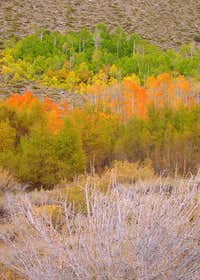 Aspens near Bishop Creek