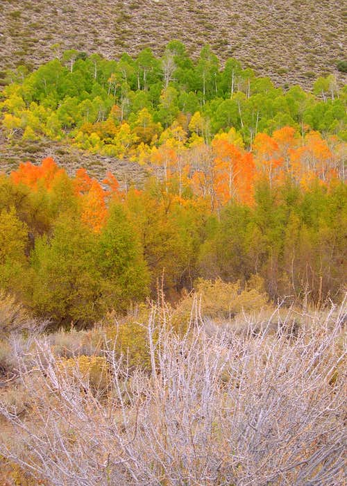 Aspens near Bishop Creek