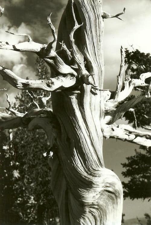 Bristlecone Pine, Dawn