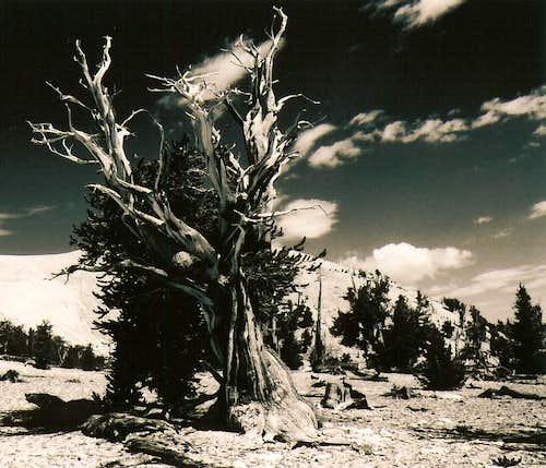 Patriarch Grove Bristlecone Pines