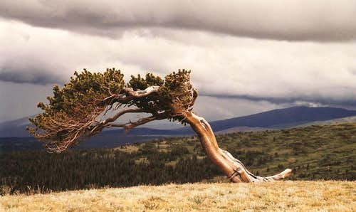 Bristlecone Pine on Windy Ridge