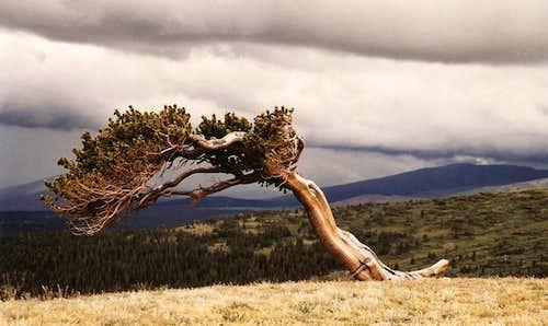 Bristlecone Pine on Windy Ridge