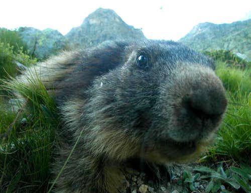 Ecrins - Marmot