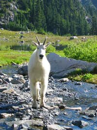Mountain Goat at Lake of the Angels