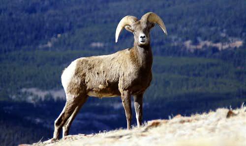 Wind River Bighorn Sheep