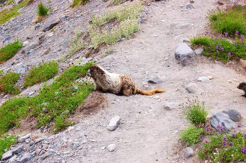 Marmot and Baby