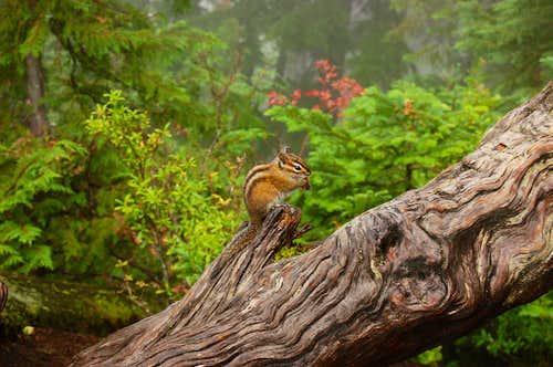 Serene Chipmunk