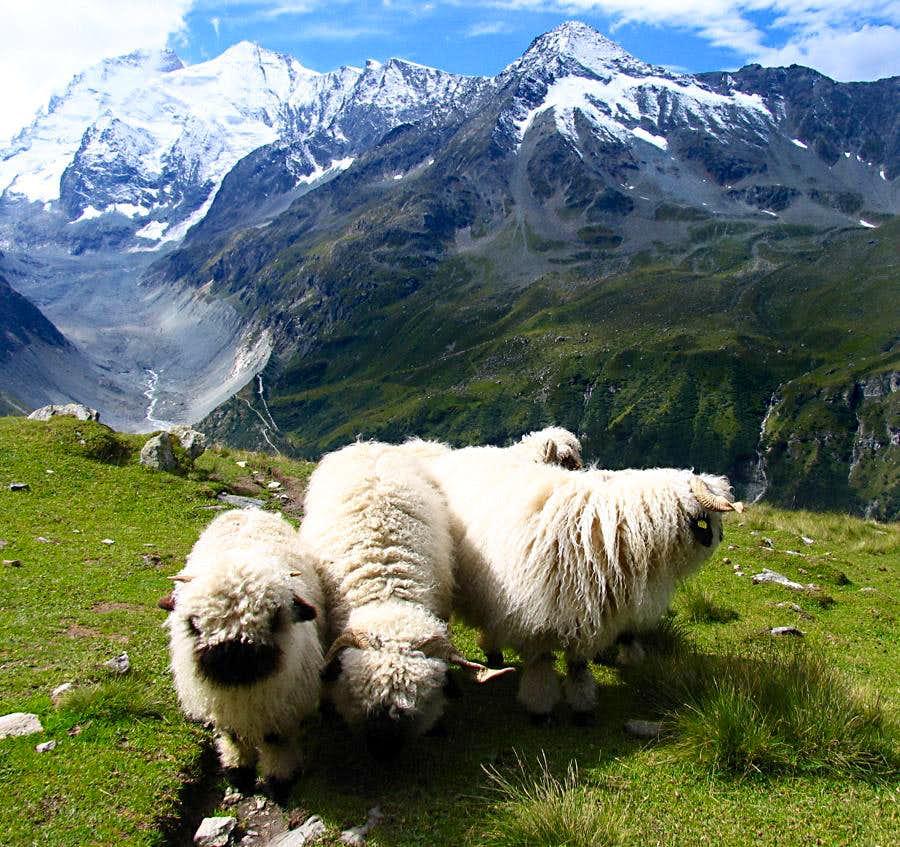 Walliser Sheep