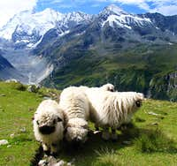 Walliser Sheep