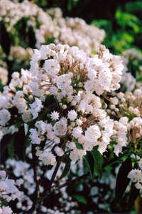 PA Mountain Laurel