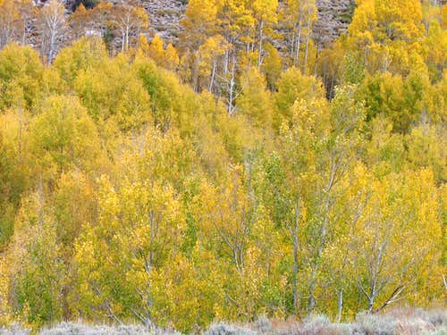 Aspens near South Lake