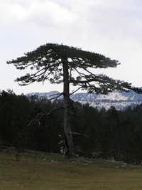 Munika, Orjen endemic tree
