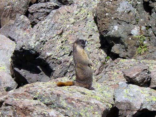 Marmots!!