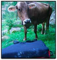Bodengo Cow