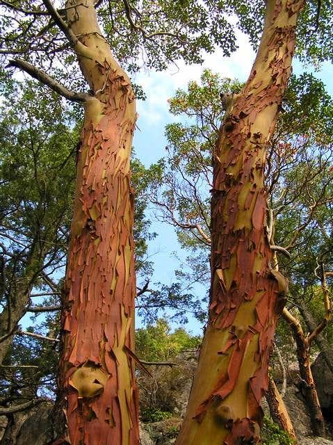 Beautiful Arbutus Trees - Mount Erie