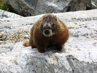 Marmot Action