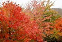 New Hampshire Sugar Maple