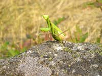 Salmon River Praying Mantis