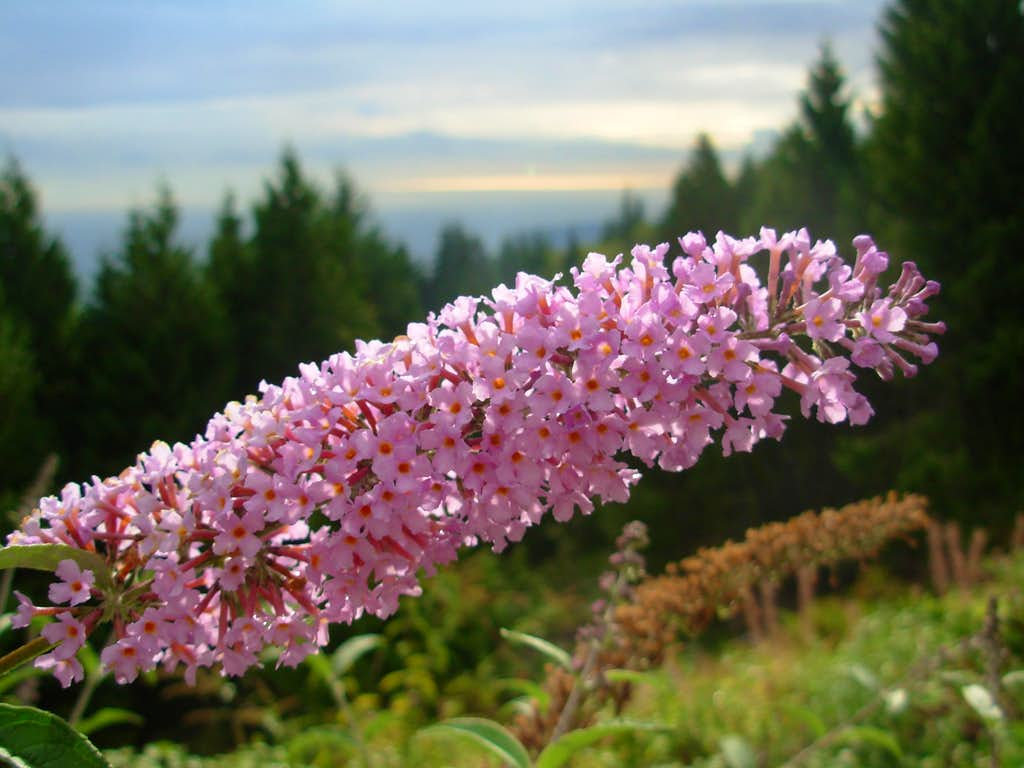 Cypress Mountain Flower