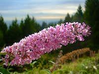 Cypress Mountain Flower