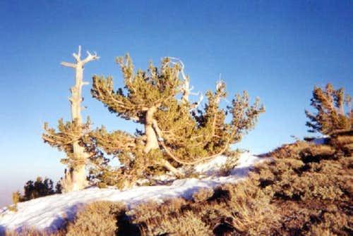 Ancient bristlecone pines...