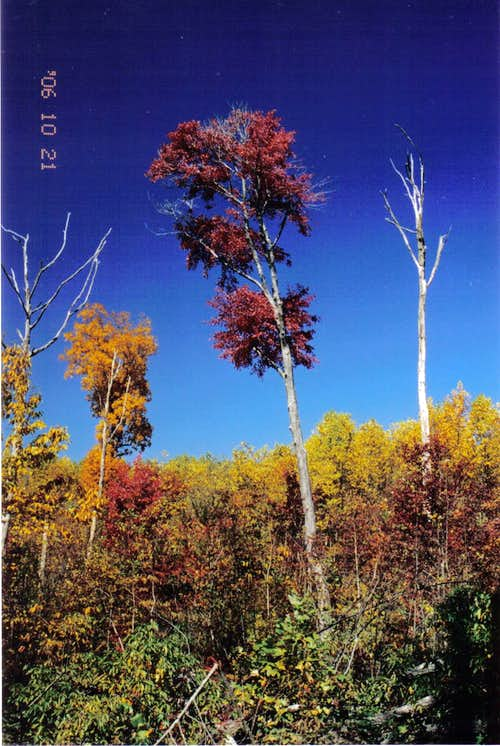 Maples and Hickories
