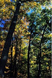 Chestnut Oaks
