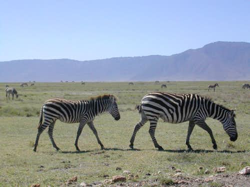 Zebra\'s at Ngorongoro Conservation Area
