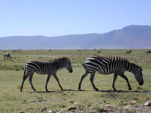 Zebra's at Ngorongoro Conservation Area