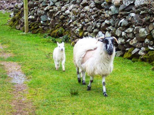 Sheep on Trail up Carrauntoohil