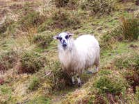 Crazy Sheep on Carrauntoohil Trail
