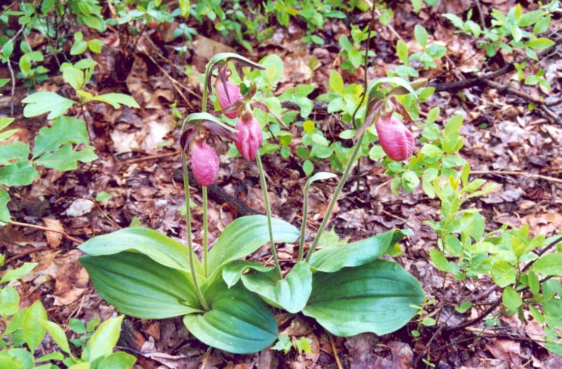 Cypripedium (Lady-slipper Orchids)