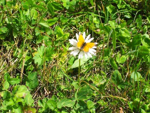 Flowers near Saas Fee