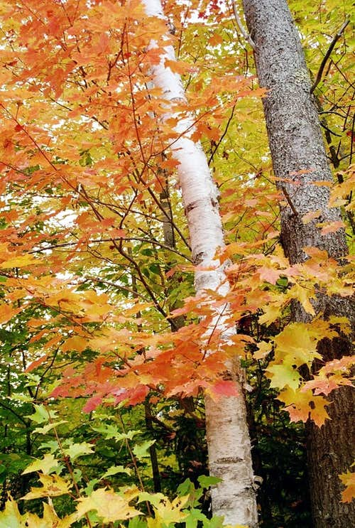 Sugar Maple and Birch