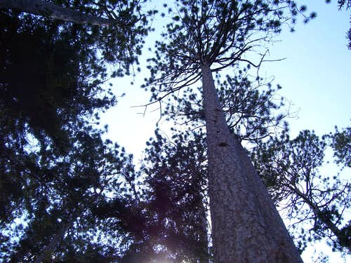 Red Pine grove at Antlers Campsite